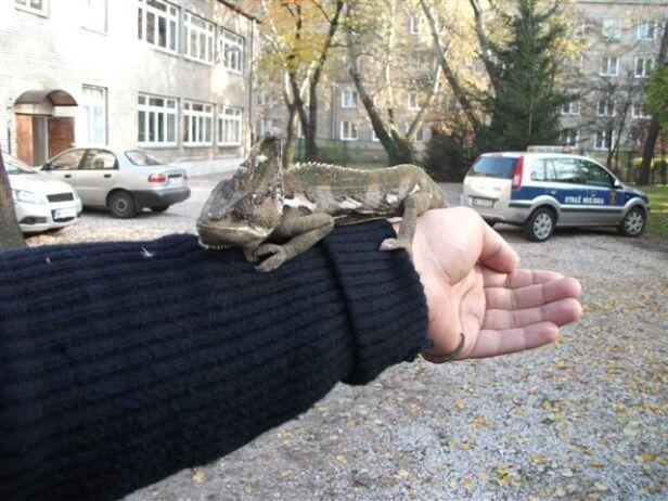 Znaleziony kameleon straż miejska