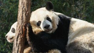Analizowali odgłosy kopulujących pand. To może pomóc je uratować